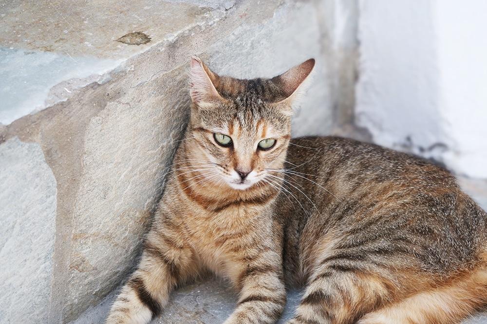 chat grece mykonos animal